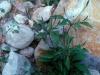Acanthaceae - Elytraria imbricata - Las Pirinolas Explorar228