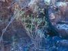 Acanthaceae - Justicia candicans Explorar766