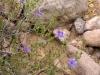 Acanthaceae - Ruellia californica - San Antonio IMG_2222