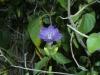 Acanthaceae - Ruellia californica - San Antonio IMG_5299