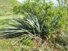 Asparragaceae - Agave angustifolia - Rancho San Francisco IMG_0385