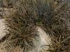 Asparragaceae - Agave felgeri - San Carlos IMG_4655