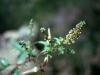 Asteraceae - Ambrosia ambrosioides - Los Anegados Explorar834
