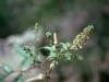 Asteraceae - Ambrosia ambrosioides - Los Anegados Explorar841
