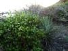 Malvaceae - Gossypium turneri - San Carlos IMG_7726