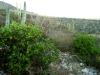 Malvaceae - Gossypium turneri - San Carlos IMG_7727