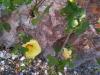 Malvaceae - Gossypium turneri - San Carlos P0001372