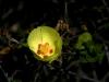 Malvaceae - Gossypium turneri_IMG_9242_2JPG