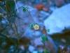 Malvaceae - Herissantia crispa Explorar795