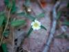 Malvaceae - Sida abutifolia Explorar1432