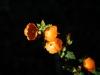 Malvaceae - Sphaeralcea coulteri - Las Avispas IMG_5286
