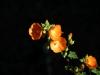 Malvaceae - Sphaeralcea coulteri - Las Avispas IMG_5287