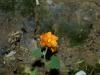 Malvaceae - Sphaeralcea coulteri - Las Avispas IMG_5297