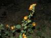 Malvaceae - Sphaeralcea coulteri - Las Avispas IMG_5300