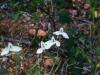 Acanthaceae - Carlowrightia arizonica P0000718