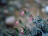 Acanthaceae - Holographis virgata Explorar1662