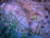 Acanthaceae - Justicia californica Explorar2045