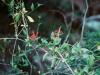 Acanthaceae - Justicia candicans Explorar2222