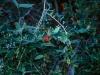 Acanthaceae - Justicia candicans Explorar821