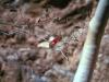 Acanthaceae - Justicia candicans Explorar828