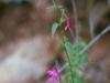 Acanthaceae - Justicia sonorae