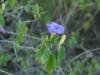 Acanthaceae - Ruellia californica - San Antonio IMG_5288