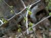 Acanthaceae - Phaulothamnus spinescens P0000645
