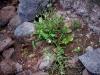 Alismataceae - Echinodorus berteroi Explorar2023