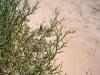 Amaranthaceae - Allenrolfea occidentalis - Tastiota P0001252