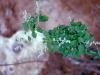 Amaranthaceae - Iresine alternifolia Explorar1430