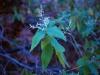 Amaranthaceae - Iresine calea Explorar2042