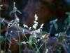 Amaranthaceae - Iresine calea Explorar796