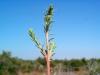 Amaranthaceae - Suaeda nigra - Tastiota P0001260
