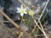 Amaryllidaceae - Nothoscordum bivalve - La Balandrona P0000778