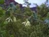 Apocynaceae - Matelea cordifolia - Aguaje de Robinson P0000716