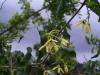 Apocynaceae - Matelea cordifolia - Aguaje de Robinson P0000717