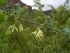 Apocynaceae - Matelea cordifolia - Los Anegados P0000716
