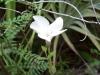 Apocynaceae - Telosiphonia nacapulensis - La Balandrona P0000775