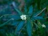 Apocynaceae - Vallesia laciniata - La Balandrona Explorar800