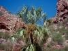 Arecaceae - Brahea brandegeei - Las Pirinolas Explorar2166