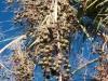 Arecaceae - Brahea brandegeei - Las Pirinolas Explorar2303