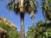 Arecaceae - Sabal uresana - El Nacapule IMG_0891