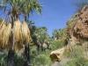 Arecaceae - Sabal uresana - El Nacapule IMG_0901