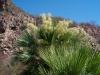 Arecaceae - Sabal uresana - San Vicente P0001197