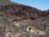 Arecaceae - Sabal uresana - San Vicente P0001219
