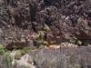 Arecaceae - Sabal uresana - San Vicente P0001221