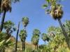 Arecaceae - Washingtonia robusta 0855