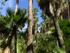 Arecaceae - Washingtonia robusta IMG_0881