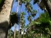 Arecaceae - Washingtonia robusta IMG_0882