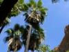 Arecaceae - Washingtonia robusta IMG_0895